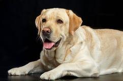 Labrador retriever-Hund auf lokalisiertem schwarzem Hintergrund Stockfotografie