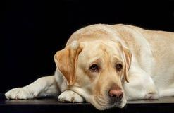 Labrador retriever-Hund auf lokalisiertem schwarzem Hintergrund Lizenzfreie Stockfotos