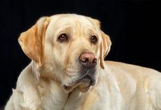 Labrador retriever-Hund auf lokalisiertem schwarzem Hintergrund Stockbild