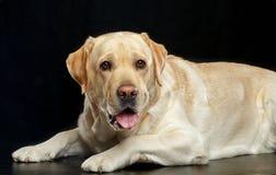 Labrador retriever-Hund auf lokalisiertem schwarzem Hintergrund Stockfotos