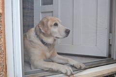 Labrador retriever-Hund hinter der Tür Lizenzfreie Stockbilder