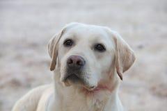 Labrador retriever-Hund mit Wunde im Hals Stockfotos