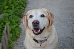 Labrador retriever-Hundehaustier, Nahaufnahmephotographie Lizenzfreie Stockfotos
