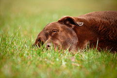 Labrador retriever-Hunderollen auf dem Gras Stockfoto
