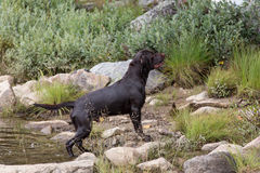 Labrador Retriever in the hunt. A Labrador Retriever dog outdoors in the hunt Royalty Free Stock Image