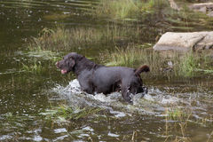Labrador Retriever in the hunt. A Labrador Retriever dog outdoors in the hunt Royalty Free Stock Images
