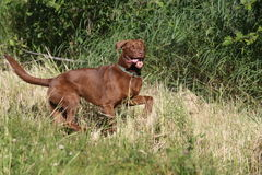 Labrador retriever hunting Stock Images