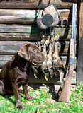 Labrador retriever, hunting gun and trophies. Royalty Free Stock Photos