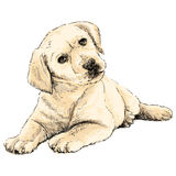 Labrador Retriever. Image of Labrador Retriever puppy hand drawn vector Stock Photography