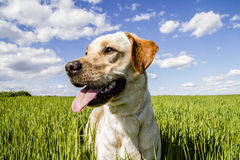 Labrador Retriever In Wheat Field Stock Images