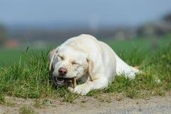 Labrador retriever isst einen Knochen Stockbild