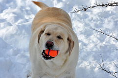 Labrador Retriever and Its Favorite Toy. A yellow Labrador retriever with a ball in its` mouth stock photo