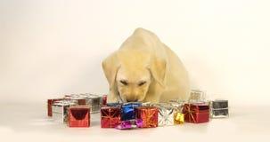 Labrador retriever jaune, chiot et cadeaux sur le fond blanc, Normandie, mouvement lent banque de vidéos