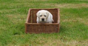 Labrador retriever jaune, chiot jouant dans un panier, Normandie en France, mouvement lent banque de vidéos