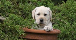 Labrador retriever jaune, chiot jouant dans un pot de fleurs, Normandie, mouvement lent clips vidéos