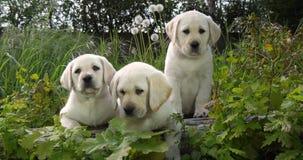 Labrador retriever jaune, chiots dans la végétation, Normandie en France, mouvement lent banque de vidéos