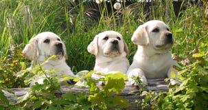 Labrador retriever jaune, chiots dans la végétation, Normandie en France, mouvement lent clips vidéos