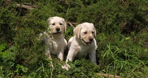 Labrador retriever jaune, chiots dans la végétation, Normandie, mouvement lent banque de vidéos