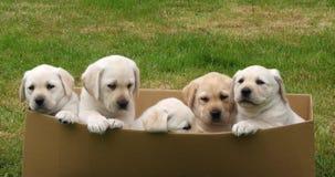 Labrador retriever jaune, chiots jouant dans une boîte en carton, Normandie en France, mouvement lent banque de vidéos