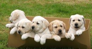 Labrador retriever jaune, chiots jouant dans une boîte en carton, Normandie en France, mouvement lent clips vidéos