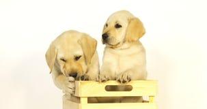 Labrador retriever jaune, chiots jouant dans une boîte sur le fond blanc, baîllant, Normandie, mouvement lent banque de vidéos