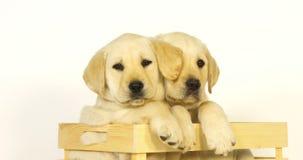 Labrador retriever jaune, chiots jouant dans une boîte sur le fond blanc, baîllement, léchant, Normandie, mouvement lent banque de vidéos