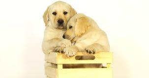 Labrador retriever jaune, chiots jouant dans une boîte sur le fond blanc, Normandie, mouvement lent clips vidéos