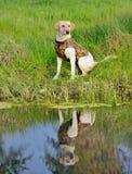 Labrador retriever jaune se reposant par un étang prêt à être formé Photographie stock libre de droits