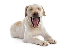 Labrador retriever jaw Royalty Free Stock Photo