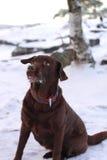 Labrador retriever juguetón del chocolate Imagenes de archivo