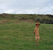 Labrador retriever jumping up. Into the air Royalty Free Stock Images