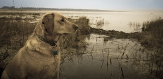 Labrador in marsh Royalty Free Stock Photography