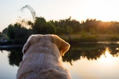 Labrador retriever in the lake. Labrador retriever smile and sunset background Royalty Free Stock Photos