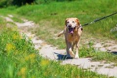 Labrador retriever at the leash outdoors stock photo
