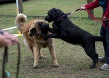 Labrador Retriever and Leonberger Dogs Stock Photo