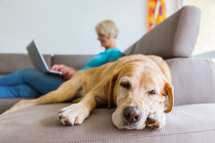 Labrador retriever lies on a couch with a woman with laptop in background Royalty Free Stock Images
