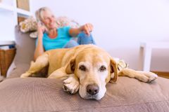 Labrador retriever lies on a seating furniture while a mature woman is phoning in the background royalty free stock photo
