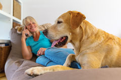 Labrador retriever lies on a seating furniture with a phoning woman in background Stock Image
