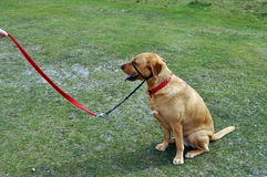 Labrador retriever on a long lead sitting Stock Image