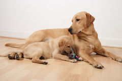 Labrador retriever looking at his child playing with a dog toy Royalty Free Stock Photo