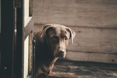 Labrador retriever looking like use the eye appeal to his owner. It naughty dog . Selective focus on eye dog. color retro style Stock Images
