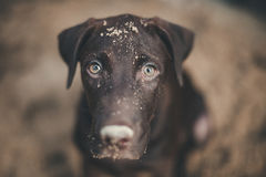 Labrador retriever looking like use the eye appeal to his owner. It naughty dog playing sandy. Selective focus on eye dog. color retro style Stock Photos