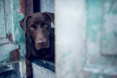 Labrador retriever looking like use the eye appeal to his owner. At old door.- Selective focus on eye dog. vintage color style Stock Image