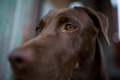 Labrador retriever looking like use the eye appeal to his owner. Selective focus on eye dog Stock Photo