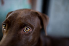 Labrador retriever looking like use the eye appeal to his owner. Selective focus on eye dog Royalty Free Stock Photography