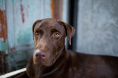 Labrador retriever looking like use the eye appeal to his owner. Selective focus on eye dog. blur background Royalty Free Stock Photo