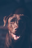 Labrador retriever looking like use the eye appeal to his owner. Selective focus on eye dog. vintage color style Stock Image