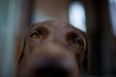 Labrador retriever looking like use the eye appeal to his owner. Selective focus on eye dog. vintage color style Royalty Free Stock Photography