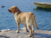 Labrador retriever looking at the sea Royalty Free Stock Photography