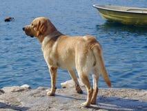 Labrador retriever looking at the sea. Labrador retriever dog looking at the sea royalty free stock photography